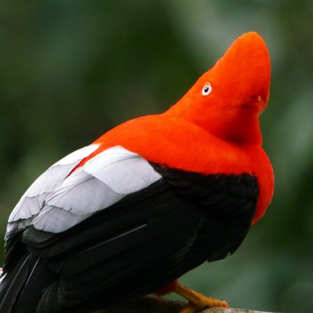 COCK OF THE ROCKS_MANU CLOUD FOREST_PERU
